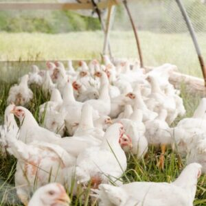 Pasturage Raised Chickens